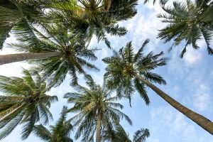 Palm trees seen from below.