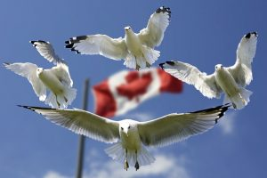 Seagulls flying arund the Canadian flag.