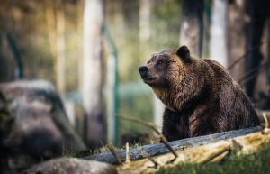 Bear waiting for the victim.