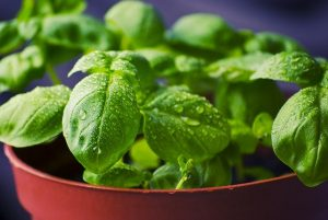 A pot of fresh basil which is one of the easiest herbs to grow in your garden.