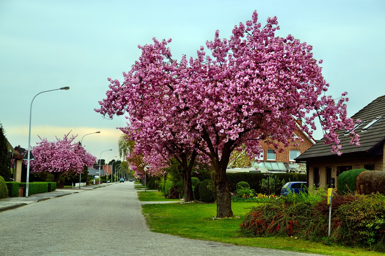 A cherry tree in one of the family-friendly neighborhoods of Wheat Ridge